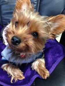 小型犬に多い、関節脱臼