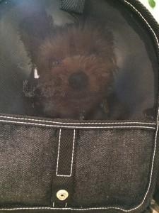 キャリーバッグの中の犬、ヨークシャーテリアさん