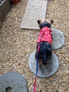 桜よりも地面!お庭をお散歩する犬・ヨークシャーテリアさん