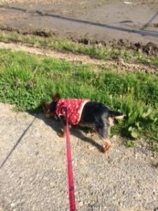 お散歩で草のにおいを楽しむヨーキーさん