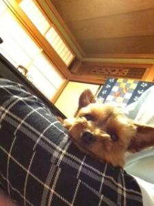 お膝の上でくつろぐ犬のヨークシャーテリアさん