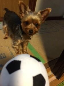 ボールが大好きな犬のヨークシャテリアさん