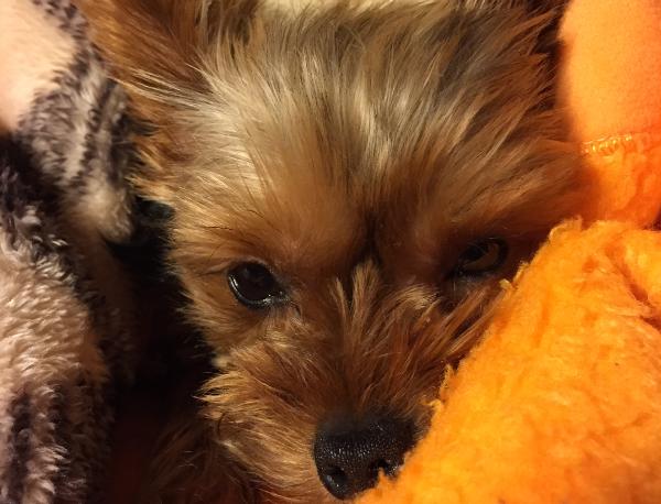 寒くて毛布に包まる犬のクレアさん